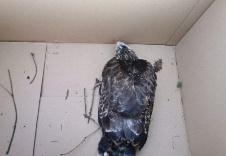 Greifvogel aus Nest gefallen